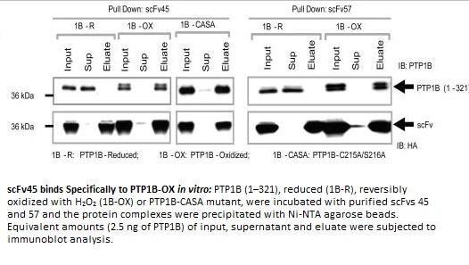 Image for Anti-PTP1B-OX, Recombinant [scFvs 45]