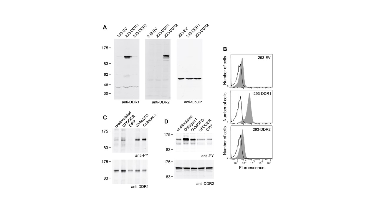 Adapted from Xu et al. 2012. PLoS One. 7(12):e52209. PMID: 23284937. Figure. DDR expression and activation by collagen I and collagen-derived synthetic peptides in DDR-expressing HEK293 cell lines. (A) Western blot analysis of lysates from stably transfected HEK293 cells. Total cell lysates were subjected to SDS-PAGE and immunoblotting with the indicated Abs. β-tubulin was monitored as a loading control. (B) Cell surface expression of DDR1b in DDR-expressing or empty-vector control HEK293 cells. The cells were stained on ice with 10 µg/ml anti-DDR1 mAb 1F7 followed by FITC-conjugated goat anti-mouse IgG and analysis by flow cytometry. Open black histograms, secondary Ab only; grey filled histograms, anti-DDR1. Shown are representative data of three independent experiments. (C) and (D) Collagen I and the DDR-activating collagen-derived peptide GVMGFO induces receptor phosphorylation in the DDR-expressing cell lines. (C) 293-DDR1 cells were stimulated for 90 min with collagen I at 10 µg/ml or collagen peptide at 100 µg/ml, cell lysates were subjected to immunoprecipitation with anti-DDR1 Ab and protein A beads. Eluates were analyzed by SDS-PAGE and Western blotting. The blot was probed with anti-phosphotyrosine mAb 4G10 (upper panel), followed by stripping and reprobing with anti-DDR1 (lower panel). (D). 293-DDR2 cells were stimulated for 90 min with collagen I at 10 µg/ml or collagen peptides at 100 µg/ml, and total cell lysates were resolved on two gels. The corresponding blots were probed with anti-phosphotyrosine mAb 4G10 (upper panel) or anti-DDR2 (lower panel). The positions of molecular weight markers (in kDa) are indicated.