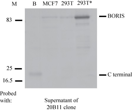 Monoclonal anti- BORIS C-terminal antibody from clone 20B11 specifically recognises the C terminal domain of BORIS, and the endogenous and exogenous BORIS protein. Cell lysates were resolved by SDS-PAGE, blotted and probed with the original mouse supernatant of the 20B11 clone.  Positions of BORIS and the C-terminal domain of BORIS are indicated. B, bacterially expressed BORIS;  *, 293T cells transfected with 0.5μg of the plasmid expressing BORIS;  M, Molecular marker.
