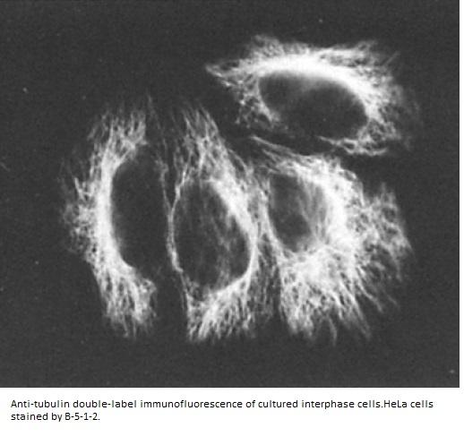 Image for Anti-Alpha Tubulin [B-5-1-2]