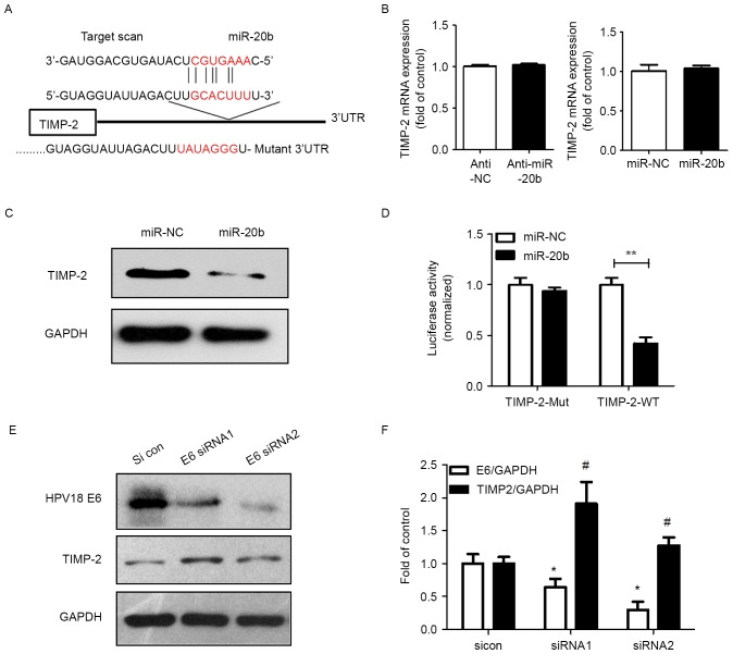 Adapted from Cheng Y, Geng L, Zhao L, Zuo P, Wang J. Human papillomavirus E6-regulated microRNA-20b promotes invasion in cervical cancer by targeting tissue inhibitor of metalloproteinase 2. Mol Med Rep. 2017 Oct;16(4):5464-5470. doi: 10.3892/mmr.2017.7231. Epub 2017 Aug 11. PMID: 28849054.HPV and miR-20b regulated the expression of TIMP-2 protein, and miR-20b targeted it. (A) The predicted interaction site of miR-20b and candidate target gene TIMP-2 3′UTR. (B) qPCR analysis of TIMP-2 mRNA level in HeLa cells transfected with miR-106b inhibitor (anti-miR-106b) or miR-106b control inhibitor (anti-NC). Data are mean ± SEM (n=3). (C) Western blot analysis of TIMP-2 protein level in HeLa cells transfected with miR-106b inhibitor (anti-miR-106b) or miR-106b control inhibitor (anti-NC). (D) Luciferase assay of HeLa cells co-transfected with miR-20b mimics and pGL-3-TIMP-2 plasmid (miR-NC and miR-106b with TIMP-2-WT-3′UTR; miR-NC and miR-106b with TIMP-2-Mut-3′UTR) after 24 h. Data are mean ± SEM (n=3). **P<0.01. (E) TIMP-2 protein level after siRNA knockdown of HPV18 E6 protein and (F) quantification. Data are mean ± SEM (n=3). *P<0.05 vs. control, #P<0.05 vs. E6/GAPDH.