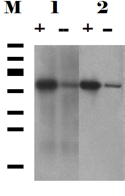 Western blotting on cell lysates prepared from transfected (+) and untransfected (-) Vero E6 cells (containing endogenous SGT protein) using  anti-SGT [6A4].