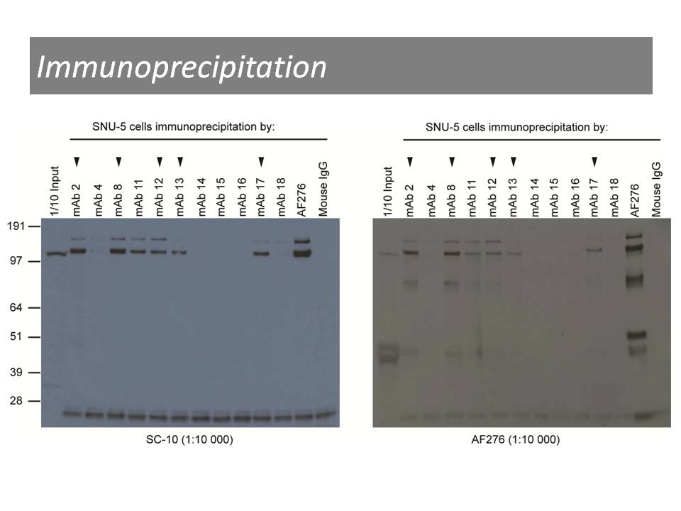 Immunoprecipitation of SNU-5 cell lysates using anti-c-Met [17]. Detection was performed by antibodies SC-10 and AF276.