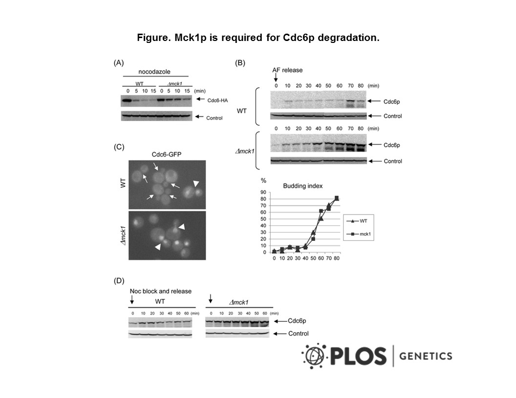Adapted from Ikui et al. 2012. PLoS Genet. 8(12):e1003099. PMID: 23236290. Figure. Mck1p is required for Cdc6p degradation. (A) GAL-CDC6-HA (WT) or Δmck1 GAL-CDC6-HA (Δmck1) cells were incubated in raffinose first, then transferred to galactose media for 2 hours. Nocodazole was added and the cells were incubated for 2 more hours. Cdc6 expression was suppressed by adding glucose. Samples were collected every 5 minutes. Protein extracts were made and subjected to western blot analysis to observe Cdc6-HA. Pgk1 was used as a loading control. (B) CDC6-prA or Δmck1 CDC6-prA cells were treated with alpha-factor to arrest the cell cycle during G1 phase. The cells were released from G1 and collected every 10 minutes. Proteins were extracted from each sample and subjected to Western blot analysis to detect Cdc6-prA. Budding index is shown using the same samples. (C) Localization of Cdc6-GFP was analyzed in living cells. In wild type cells, nuclear accumulation of Cdc6-GFP was observed only in late mitotic cells (arrowhead) and not in small to medium budded cells (arrows), whereas Cdc6-GFP was observed in the nucleus throughout the cell cycle (arrowheads) in mck1 deletion cells. (D) CDC6-prA or Δmck1 CDC6-prA cells were blocked at metaphase by nocodazole. The mitotic arrest was released upon removal of the drug. Cells were then incubated in YEPD and collected every 10 minutes. Proteins were extracted subjected to western blot analysis to detect CDC6-prA. Pgk1 was used as a loading control.