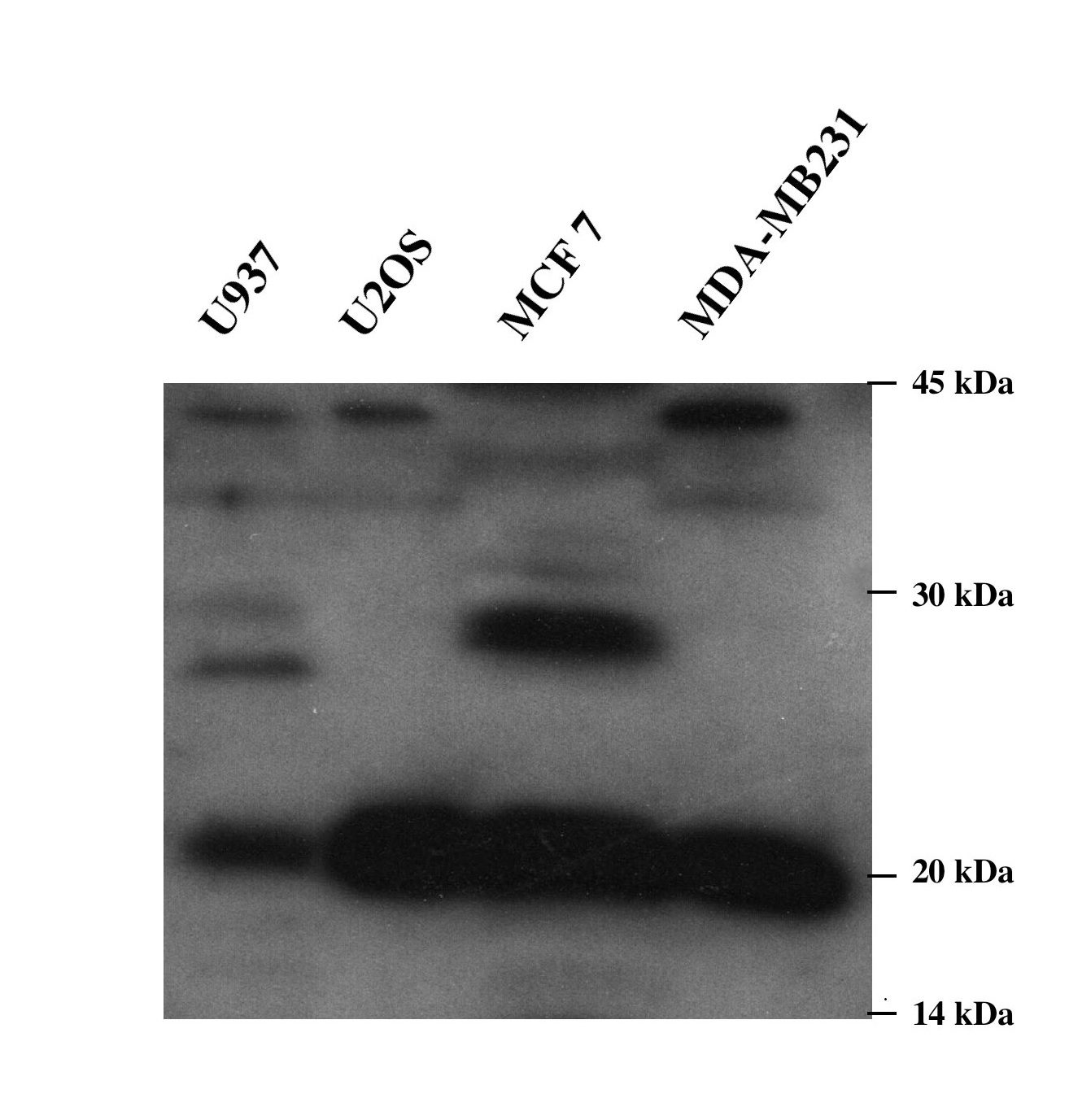 30 micrograms of detergent extracts of the indicated cell lines were loaded on a 12.5 SDS PAGE and ECL stained using SG36 as primary antibody against Praf2 diluted 1:5000.