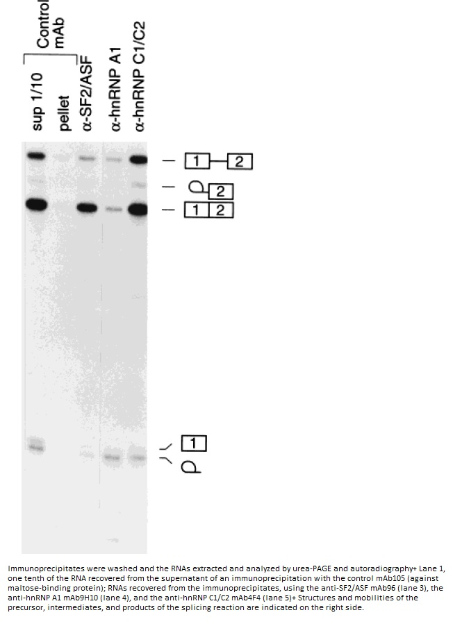 Image for Anti-ASF1 [AK96]