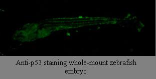 Immunohistochemistry using anti-p53 [V5P4H6*B3] on a Zebrafish embryo.