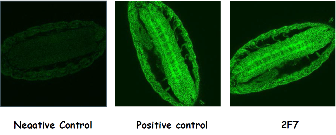 Immunofluorescence labeling of Drosophila embryos with Anti-dHomer [2F7] including a positive control from immunized mouse serum