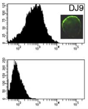 Flow cytometry analysis of human mesenchymal stem cells (upper) and skin fibroblasts (lower) using anti-HLA-DRB1 [DJ9]