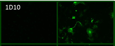Immunofluorscence of cos-7 cell untransfected (-) and transfected with full-length H5 Hatay/2004 (+) using anti-tEH5 [1D10]