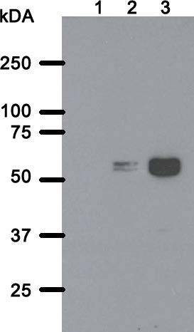 Western blot analysis of SS QD1 monoclonal antibody. Total cell lysate of parental HeLa cell line (lane 1) or HeLa polyclonal cell line expressing BioID2 tagged to TorsinA ΔE302/3 (6) without (lane 2) or with induced expression (lane 3) were transferred to a nitrocellulose membrane and blotted for BPL R40G/BioID2 with SS QD1 antibody. The predicted molecular weight of BioID2-TorsinA ΔE302/3 fusion protein is 65 kDa.