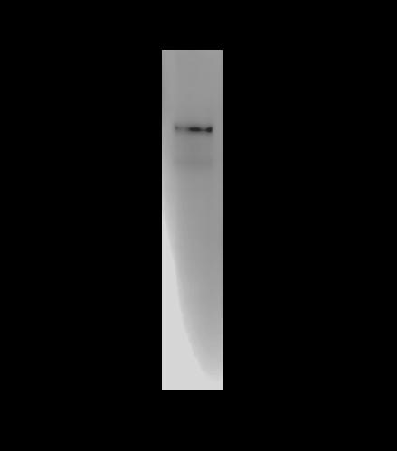Western blot showing detection of IgT in meagre (Argyrosomus regius) serum using Anti-IgT [Z55F8*C3]. Antibody was used neat (supernatant).