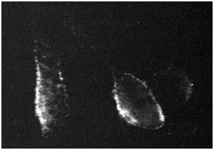 Indirect immunofluorescence: staining of live unfixed RSN-2 infected BSC-1 cells.