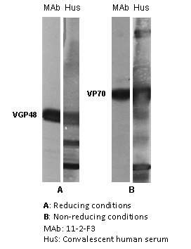 """The antigen present in all lanes was gradient purified RSN-A2 virus (subgroup A). First antibodies: lanes """"mAb"""": 11-2-F3 antibody; lanes """"Hus"""": RS virus convalescent human sera. Panel A: Antigen analysed by electrophoresis using reducing conditions (SDS and mercapthoethanol). Panel B: Antigen analysed by electrophoresis using non reducing conditions (SDS only) (Gimenez et al., 1986).  The identity and molecular weight of the protein target of this antibody was validated by including within the immunoblot assay (as a marker) a convalescent serum sample from a RS virus infected patient. The protein specificities of the antibodies induced in the human convalescent serum is described in Gimenez et al. (1987)."""