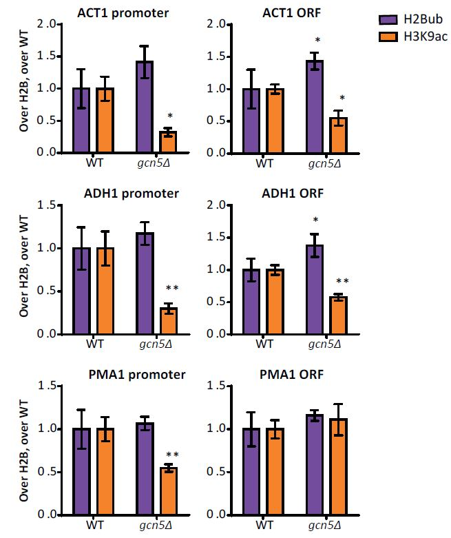 Adapted from Vlaming et al. 2016. Elife. 5:. PMID: 27922451.: ChIP using anti-Ubiquitinated Histone H2B (Lys123) [1B3F12/A9].  Gcn5 regulates H2Bub and H3K9ac at several loci. ChIP-qPCR analysis of H2Bub and H3K9ac, normalized to H2B, at several loci. n=3 each, the wild-type average was set to 1.