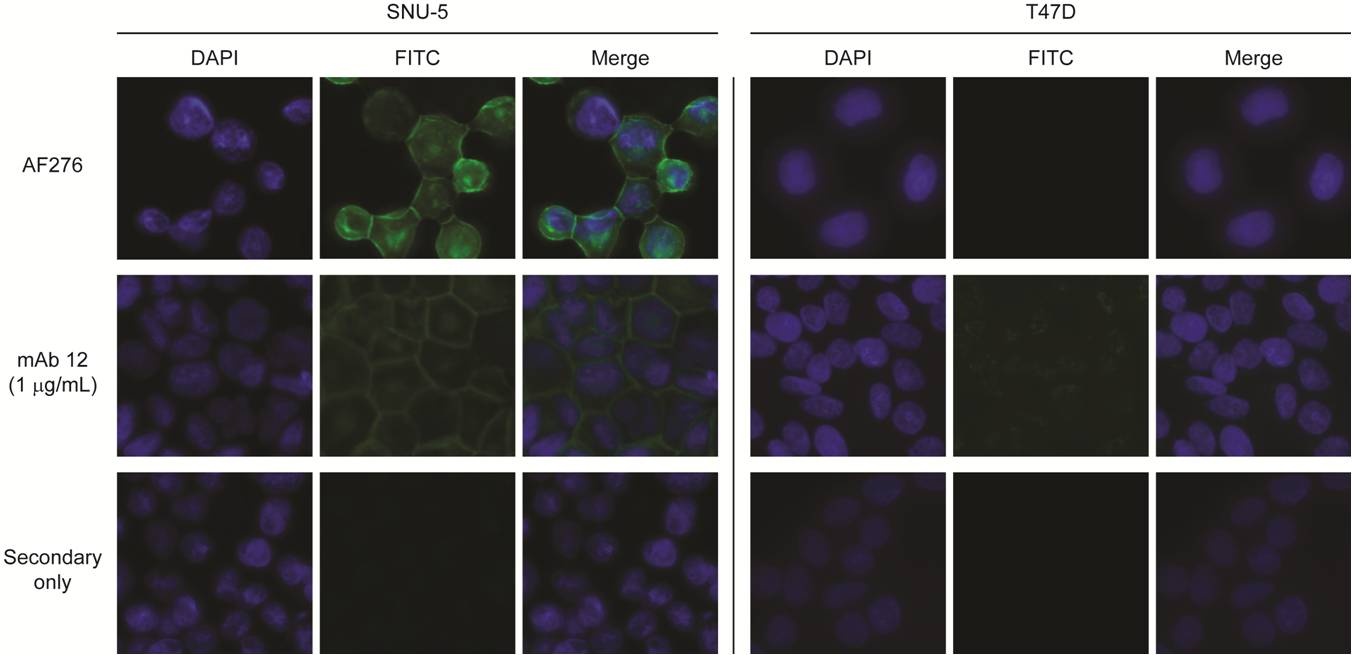 Detection of endogenous c-Met in SNU-5 (c-Met positive) and T47D (c-Met negative) cells by immunofluorescence using purified anti-alpha-chain monoclonal antibodies.