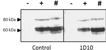 Western Blot analysis of lysates prepared from 293T cell lysates; untransfected (-), transfected with full-length H5 Hatay/2004 (+) and full-length H5 VN/04 (#) using anti-tEH5 [1D10]