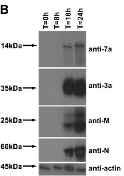 Western blotting on lysates prepared from SARS-CoV-infected Vero E6 cells harvested at different time points postinfection. Western blot analysis was performed to determine the expression level of SARS-CoV proteins, using  anti-ORF7a [3C9], anti-3a mouse polyclonal antibody, anti-M rabbit polyclonal antibody,and anti-N mouse polyclonal antibody. An anti-actin monoclonal antibody was used to verify equal protein loading