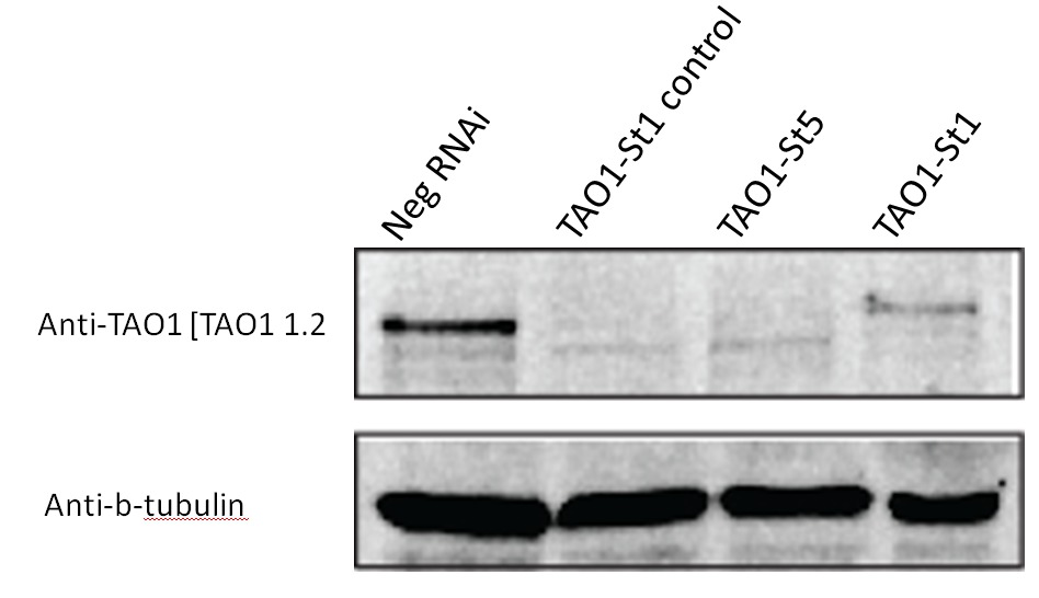 Western blot performed using Anti-TAO1 [TAO1 1.2]. HeLa cells were transfected with Negative control siRNA (Neg) or TAO1 siRNAs to assess the extent of protein depletion.