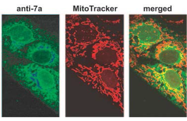 Immunofluorescence on Vero E6 cells expressing 7a using anti-ORF7a [3C9] and a FITC-conjugated anti-mouse secondary antibody or Mito-Tracker red dye which labels the mitochondria of the cell. In the merged image, the fraction of 7a protein localising to the mitochondria is indicated by the yellow signal.