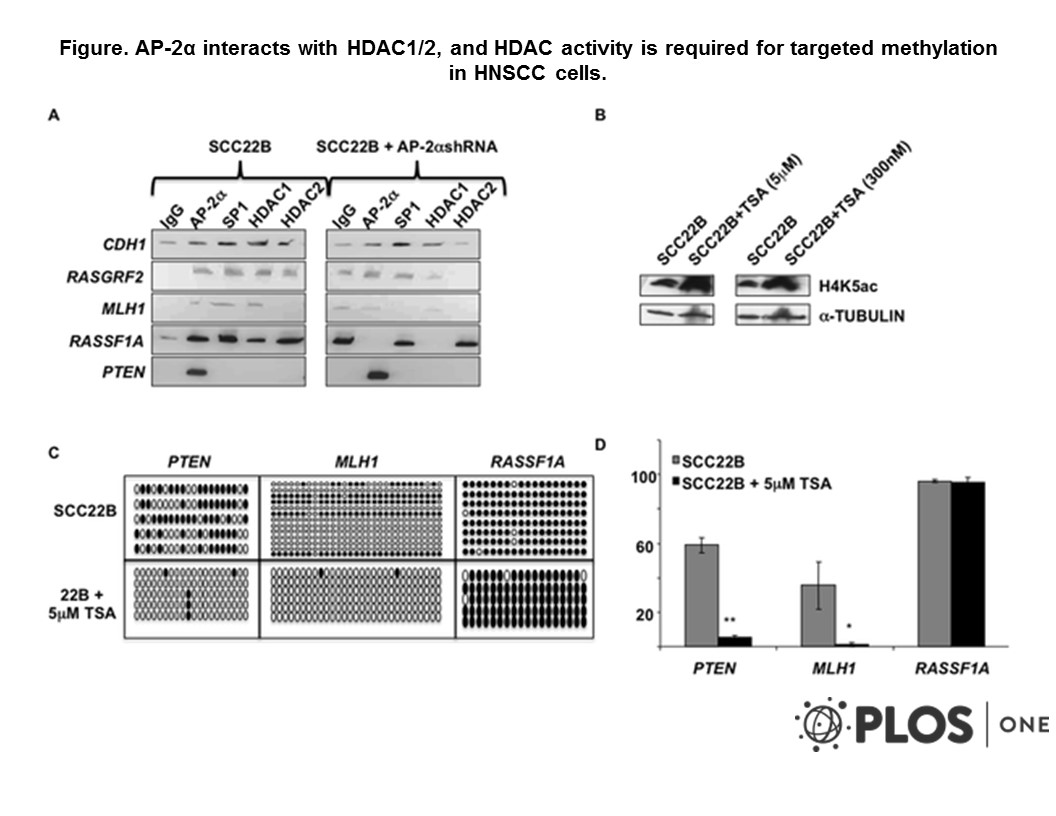 Adapted from Bennett et al. 2009. PLoS One. 4(9):e6931. PMID: 19742317 Figure. AP-2α interacts with HDAC1/2, and HDAC activity is required for targeted methylation in HNSCC cells. a) ChIP analysis was performed using AP-2α, SP1, HDAC1, and HDAC2 antibodies in SCC22B cells with and without AP-2α downregulation. ChIP eluate was then utilized for quantitative PCR using CDH1, RASGRF2, MLH1, RASSF1A, and PTEN promoter primers. b) Western blot analysis demonstrating increased acetylation following Trichostatin A (TSA) treatment. c) Bisulfite sequencing analysis was performed in SCC22B cells before and after TSA treatment. Solid circles represent methylated CpGs; whereas, open circles represent unmethylated CpG sites. d) Graphical representation of the average methylation percentage in the 3 target genes analyzed. * P-value=0.0452; ** P-value=3.77×10−6.