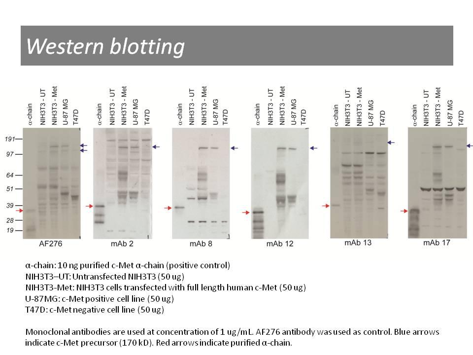 Western blotting using anti-c-Met [13]