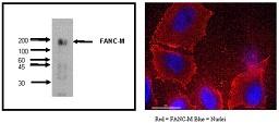 Image for Anti-FANCM [M40-P2C6]