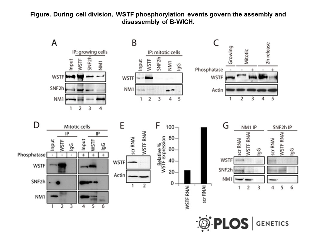 Adapted from Sarshad et al. 2013. PLoS Genet. 9(3):e1003397. PMID: 23555303. Figure. During cell division, WSTF phosphorylation events govern the assembly and disassembly of B-WICH. (A) NM1, SNF2h and WSTF are co-precipitated from protein extracts prepared from growing HeLa cells. Bound proteins were detected on immunoblots. 10% of the input is shown in Lane 1. IP, immunoprecipitation. (B) Co-precipitations of NM1, SNF2h and WSTF are impaired from protein extracts prepared from mitotic HeLa cells at t=0 min from the nocodazole block. Bound proteins were detected on immunoblots. 10% of the input is loaded in Lane 1. IP, immunoprecipitation. (C) WSTF becomes phosphorylated at the onset of mitosis. Lysates were prepared from growing HeLa cells (Lane 1), mitotic HeLa cells at t=0 min from the nocodazole block (Lanes 2 and 3) or HeLa cells after t=120 min release from the block (Lanes 4 and 5). Where indicated extracts were subjected to phosphatase treatment (Lanes 3 and 5). In all cases lysates were separated by 7% phospho-affinity SDS-PAGE and analyzed on immunoblots for WSTF and actin. (D) Co-precipitations of WSTF, SNF2h and NM1 are dependent on WSTF phosphorylation. Mitotic extracts from HeLa cells at t=0 min from the nocodazole block, untreated (Lanes 1–3) or treated with phosphatase (Lanes 4–6), were subjected to immunoprecipitations with anti-WSTF antibodies or non-specific IgGs. Bound proteins were separated by SDS PAGE and analyzed on immunoblots for WSTF, SNF2h and NM1. 5% of the input is shown in Lane 1. IP, immunoprecipitation. (E–F) WSTF steady state expression levels on immunoblots of lysates prepared from control (scrRNAi) and WSTF-silenced HeLa cells. Right panel, densitometric quantification of WSTF steady state protein expression relative to actin. (G) In growing HeLa cells, co-precipitations of NM1 and SNF2h are impaired as a consequence of WSTF gene knockdown by siRNA (WSTF RNAi) but not when cells are subjected to control experiments with scrambled 