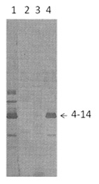 The antigens used were gradient-purified RSN-2 virus in lanes 1 and 4, partial purified PVM (lane 2) and BRS virus (lane 3). First antibodies: Lane 1: RS virus convalescent human sera; Lanes 2, 3 and 4: antibody 4-14.  The identity and molecular weight of the protein target of this antibody was validated by including within the immunoblot assay (as a marker) a convalescent serum sample from a RS virus infected patient. The protein specificities of the antibodies present in the convalescent serum are described in Gimenez et al. (1987).