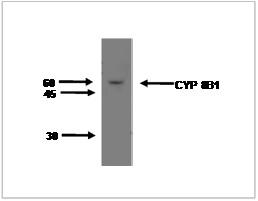 Image for Anti-Cytochrome P450 8B1 [M15-P3B7]