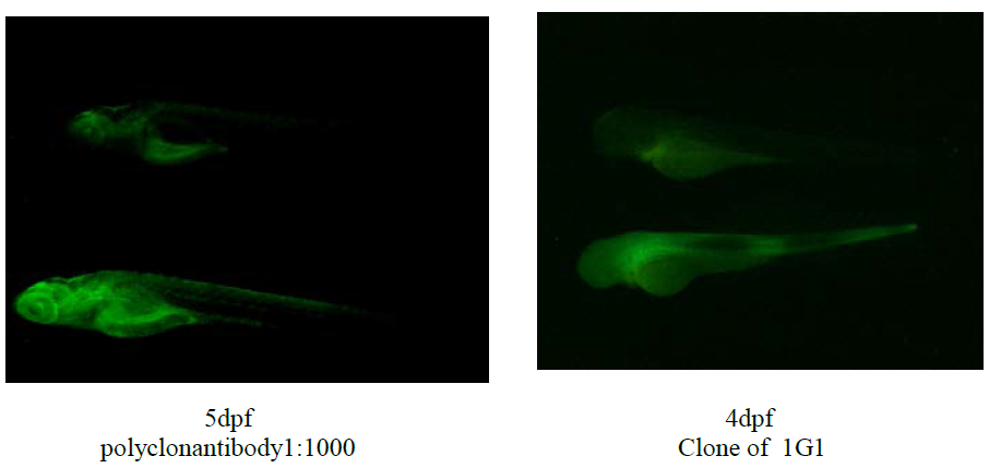 Immunofluorescence analysis of fish embryos using a rabbit polyclonal antibody and anti-Leg1 [1G1] (dpf = days post fertilisation)