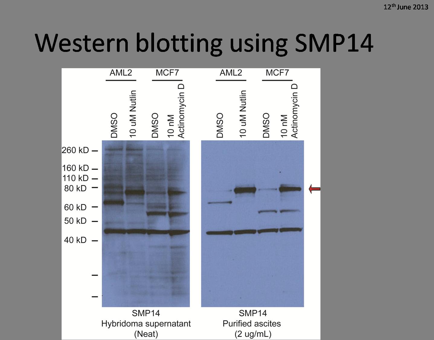 Western blotting using SMP14 hybridoma supernatant