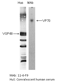 "The antigen was gradient purified RSN-A2 virus (subgroup A). First antibodies: Lane ""Hus"": RSV convalescent human sera; Lane ""MAb"": 11-6-F9 antibody. The antigen was analysed by electrophoresis using non-reducing conditions (SDS alone) for Lane ""MAb"" and reducing conditions for Lane ""Hus"" as described in Gimenez et al. (1986).