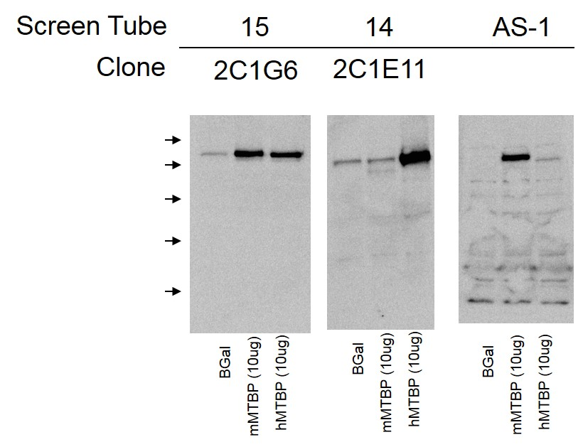 Western blot analysis comparing binding to murine and human MTBP. 30ug H1299 protein/well. Mouse antibodies were at a concentration of 3ug/ml. AS-1 rabbit 1:1000.