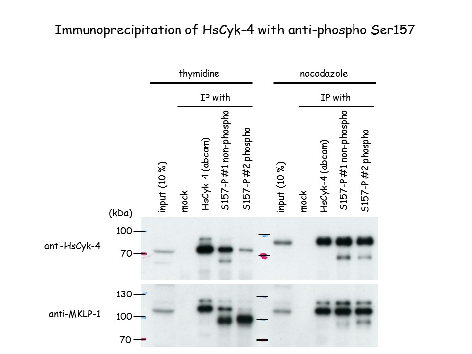Immunoprecipitation of HsCyk-4 with anti-Phospho RacGAP1 (Ser157), Polyclonal [pS157 HsCyk-4].